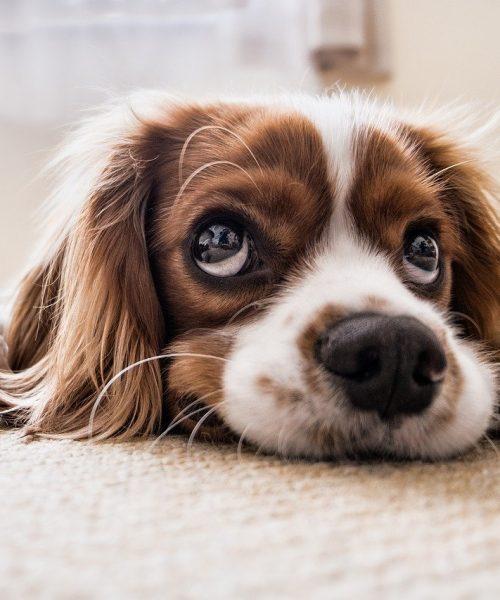 Bästa Golvet för Hundar – Slitstarkt Golv för hundar